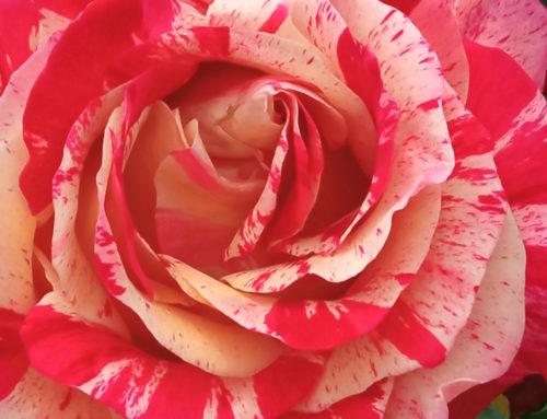 Allons voir les roses
